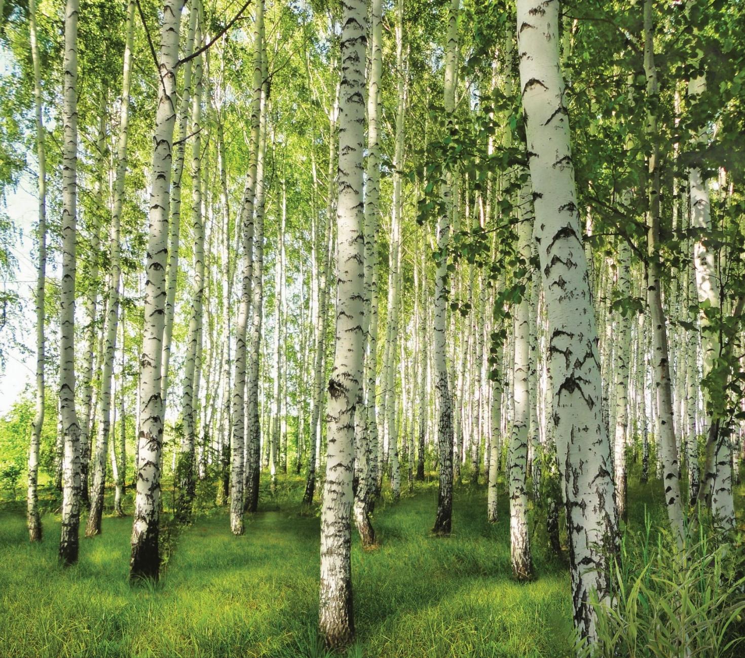 Фотообои Березовая роща 055 (2,94х2,60 м), цвет зеленый, купить в магазине Элизиум